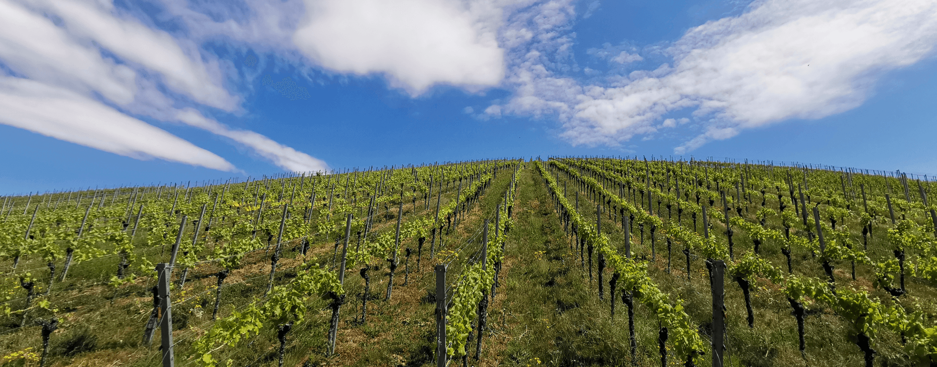 Weinberg1_Weingut Schuetz